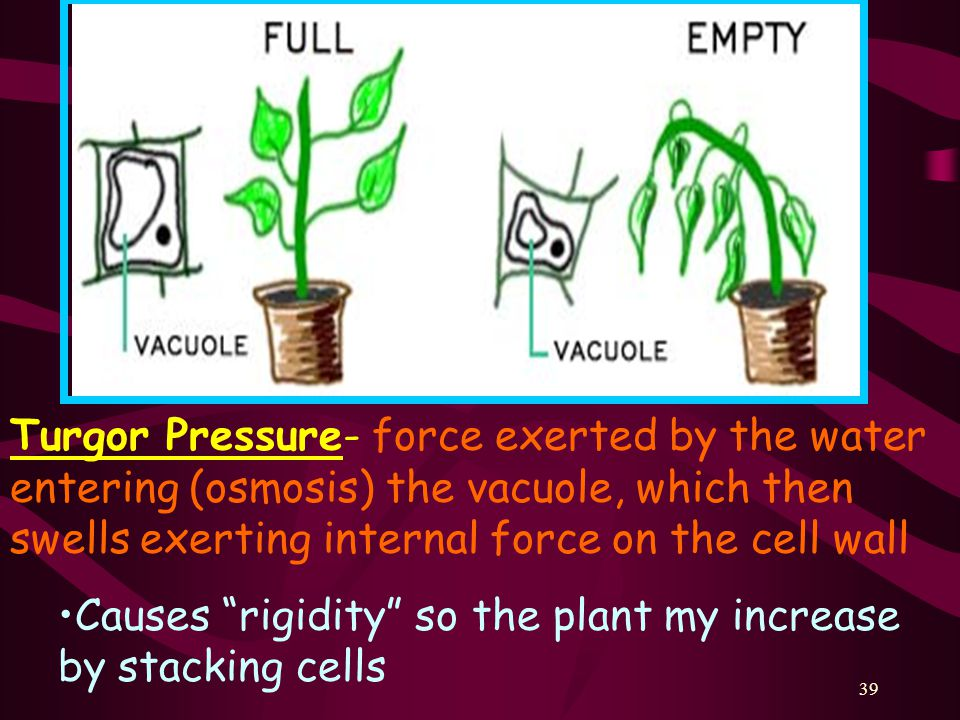 39 Turgor Pressure- force exerted by the water entering (osmosis) the vacuole, which then swells exerting internal force on the cell wall Causes rigidity so the plant my increase by stacking cells