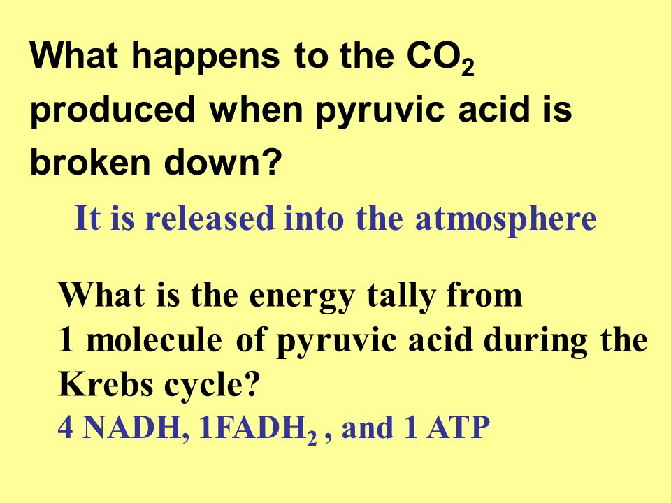 What happens to the CO 2 produced when pyruvic acid is broken down? It is released into the atmosphere What is the energy tally from 1 molecule of pyr