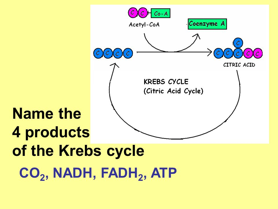 Name the 4 products of the Krebs cycle CO 2, NADH, FADH 2, ATP