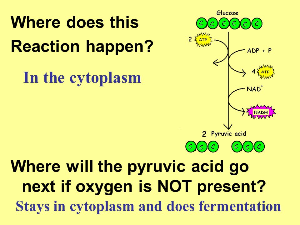 Where does this Reaction happen? Where will the pyruvic acid go next if oxygen is NOT present? In the cytoplasm Stays in cytoplasm and does fermentati