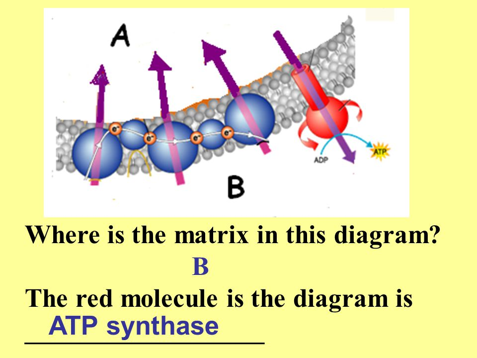 Where is the matrix in this diagram? The red molecule is the diagram is __________________ B ATP synthase