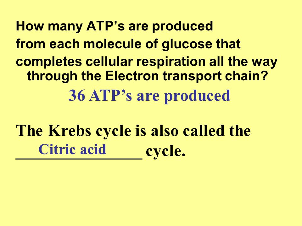 How many ATP's are produced from each molecule of glucose that completes cellular respiration all the way through the Electron transport chain? 36 ATP