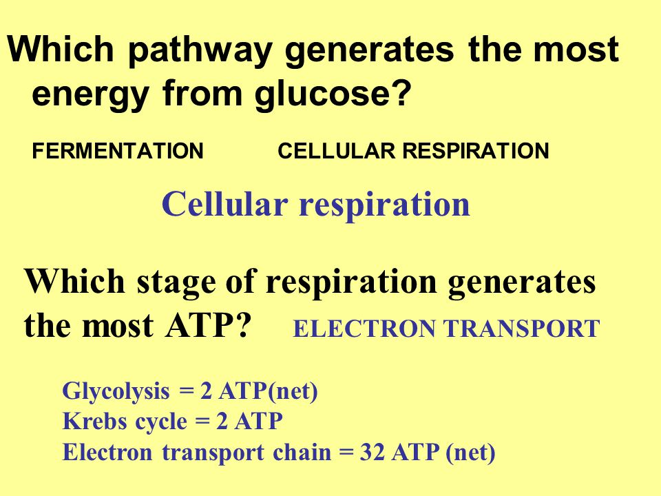 Which pathway generates the most energy from glucose? FERMENTATION CELLULAR RESPIRATION Cellular respiration Which stage of respiration generates the