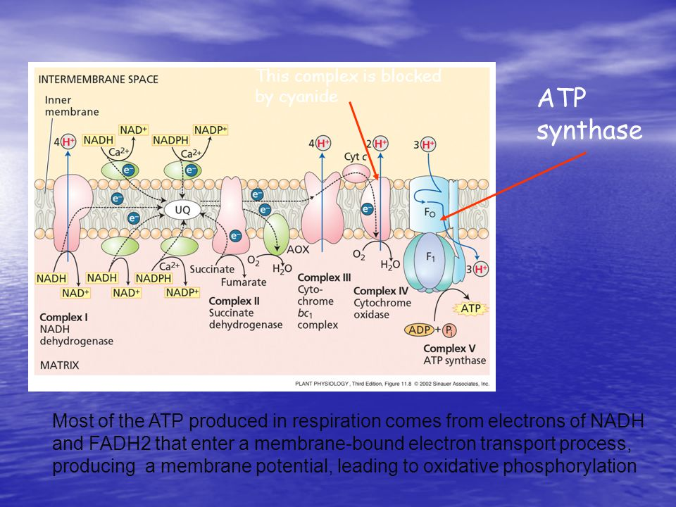 ATP synthase Most of the ATP produced in respiration comes from electrons of NADH and FADH2 that enter a membrane-bound electron transport process, producing a membrane potential, leading to oxidative phosphorylation This complex is blocked by cyanide