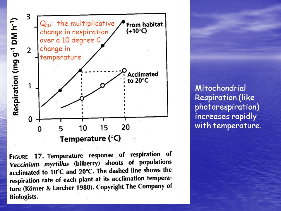 Mitochondrial Respiration (like photorespiration) increases rapidly with temperature.