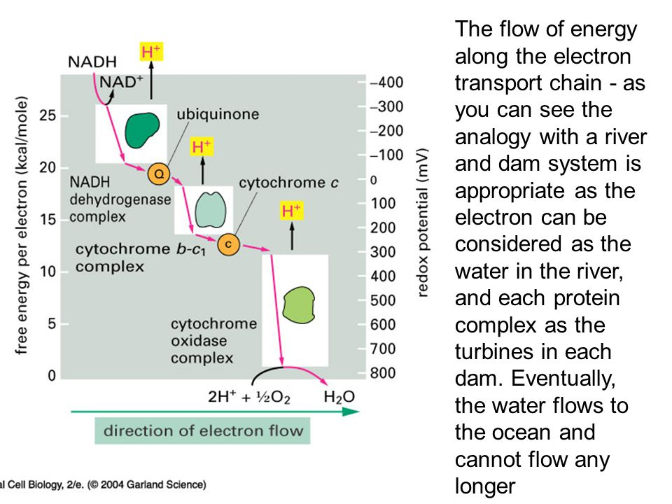 14_21_Redox_potential.jpg The flow of energy along the electron transport chain - as you can see the analogy with a river and dam system is appropriat