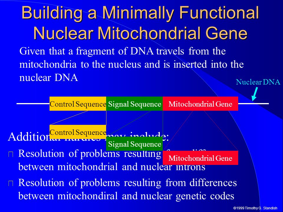 ©1999 Timothy G. Standish Nuclear DNA Building a Minimally Functional Nuclear Mitochondrial Gene Given that a fragment of DNA travels from the mitocho