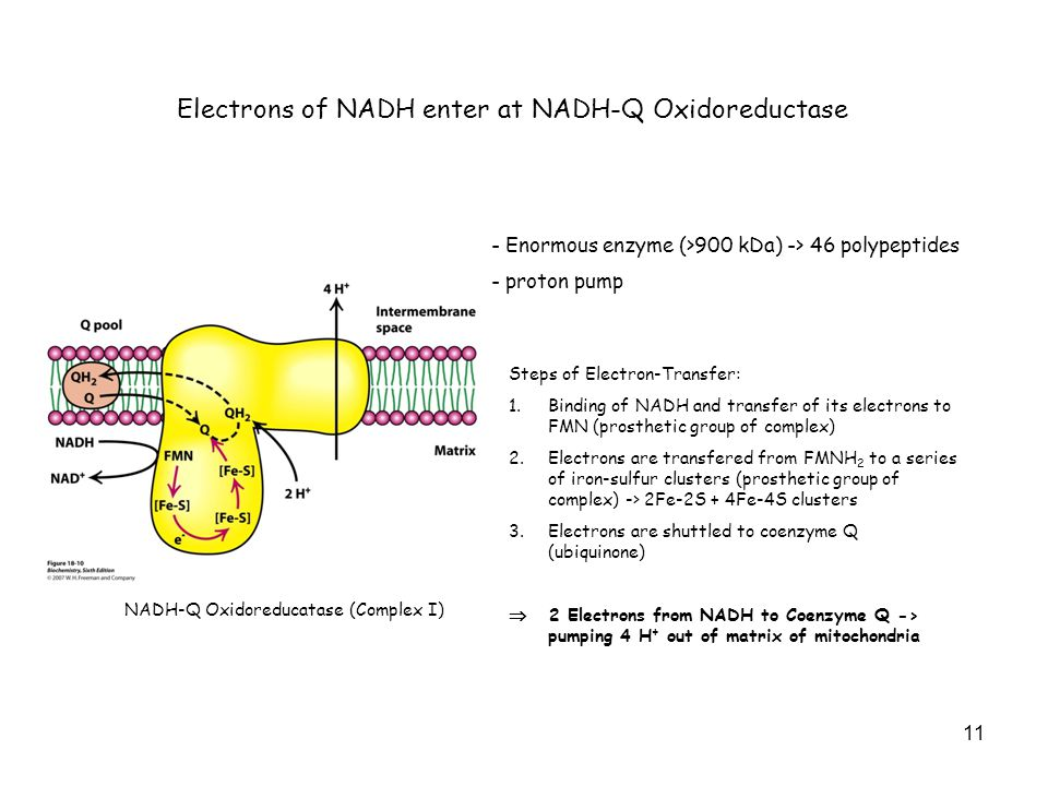 11 Electrons of NADH enter at NADH-Q Oxidoreductase NADH-Q Oxidoreducatase (Complex I) - Enormous enzyme (>900 kDa) -> 46 polypeptides - proton pump Steps of Electron-Transfer: 1.Binding of NADH and transfer of its electrons to FMN (prosthetic group of complex) 2.Electrons are transfered from FMNH 2 to a series of iron-sulfur clusters (prosthetic group of complex) -> 2Fe-2S + 4Fe-4S clusters 3.Electrons are shuttled to coenzyme Q (ubiquinone)  2 Electrons from NADH to Coenzyme Q -> pumping 4 H + out of matrix of mitochondria