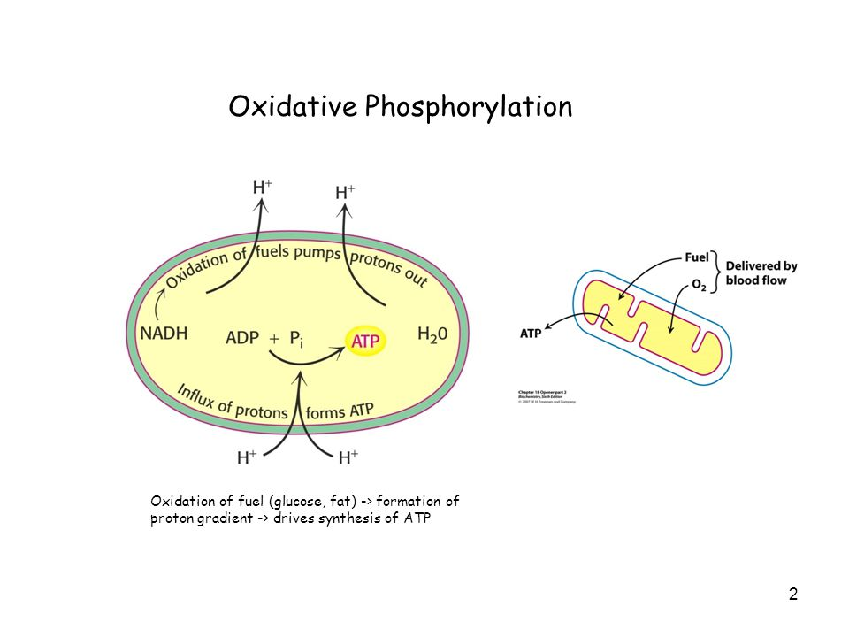 2 Oxidative Phosphorylation Oxidation of fuel (glucose, fat) -> formation of proton gradient -> drives synthesis of ATP