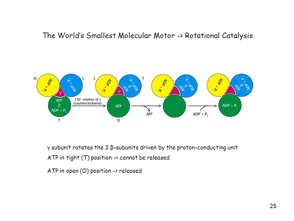 25 The World's Smallest Molecular Motor -> Rotational Catalysis γ subunit rotates the 3 β-subunits driven by the proton-conducting unit ATP in tight (T) position -> cannot be released ATP in open (O) position -> released