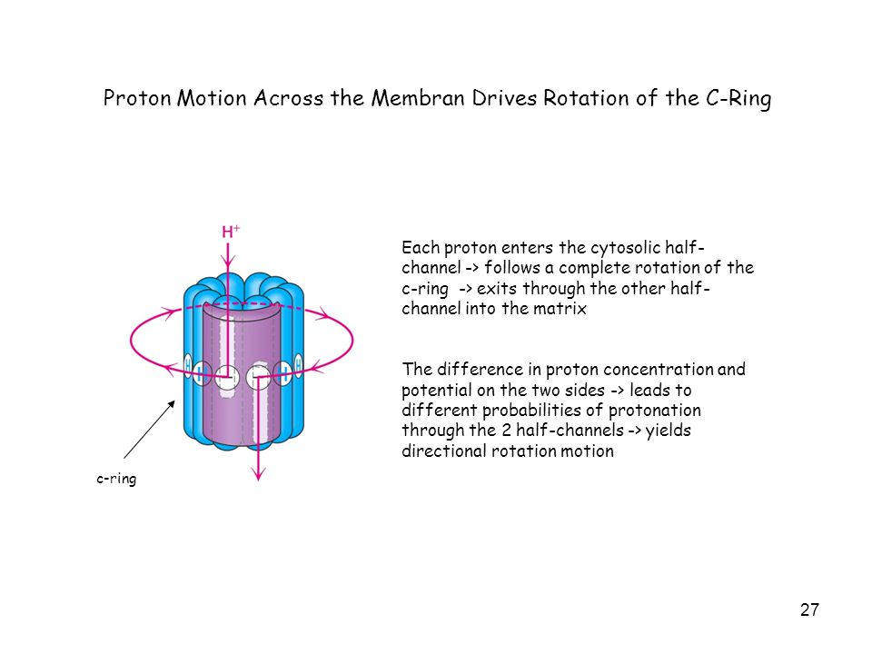 27 Proton Motion Across the Membran Drives Rotation of the C-Ring Each proton enters the cytosolic half- channel -> follows a complete rotation of the c-ring -> exits through the other half- channel into the matrix The difference in proton concentration and potential on the two sides -> leads to different probabilities of protonation through the 2 half-channels -> yields directional rotation motion c-ring