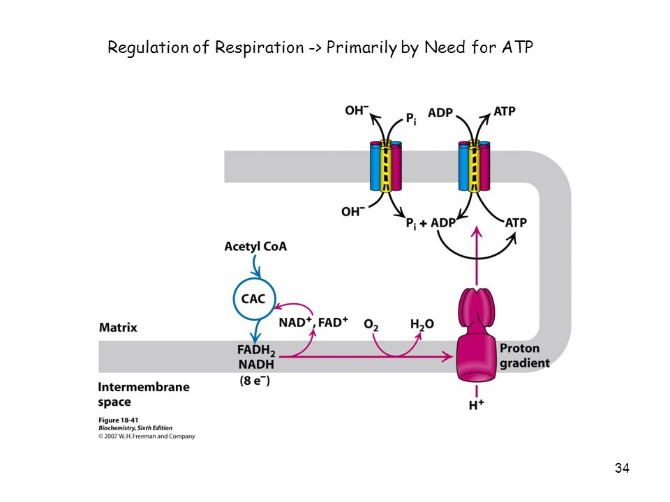 34 Regulation of Respiration -> Primarily by Need for ATP