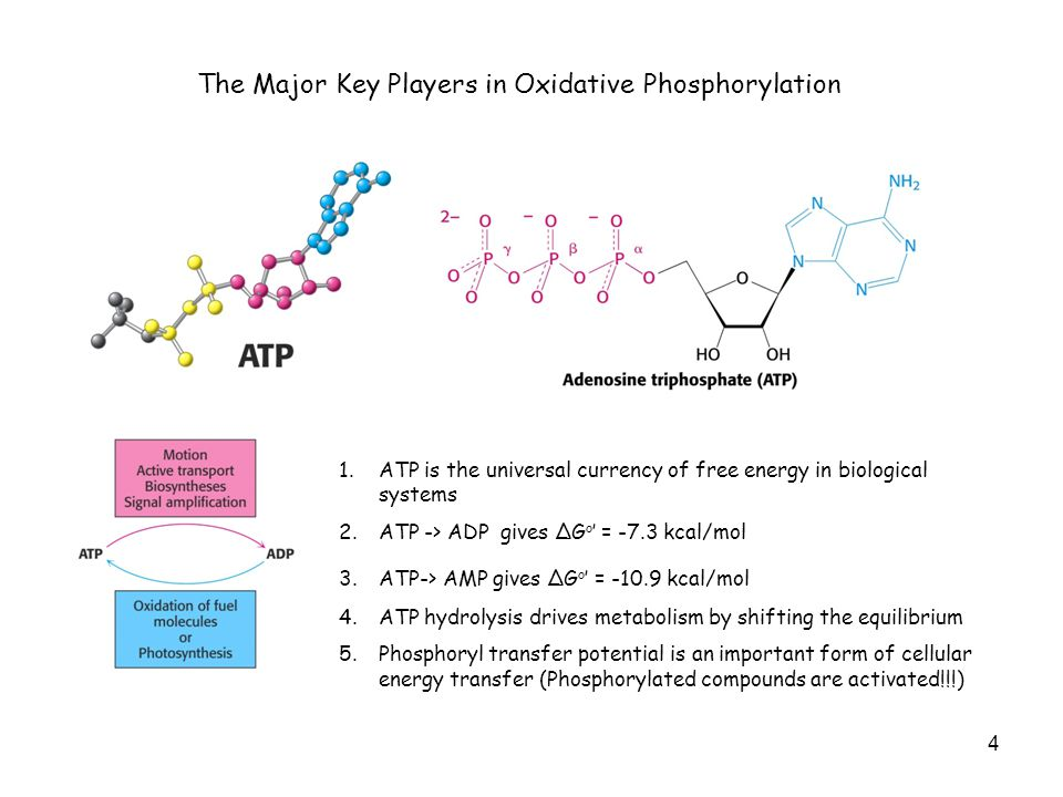 5 The Major Key Players in Oxidative Phosphorylation R = H -> NAD + R = PO 3 2- -> NADP + Electron carrier for oxidation !!.