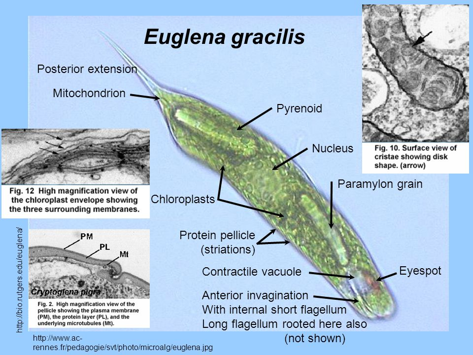 http://www.ac- rennes.fr/pedagogie/svt/photo/microalg/euglena.jpg Euglena gracilis Nucleus Eyespot Anterior invagination With internal short flagellum Long flagellum rooted here also (not shown) Paramylon grain Chloroplasts Protein pellicle (striations) Posterior extension Contractile vacuole Pyrenoid Mitochondrion http://bio.rutgers.edu/euglena/