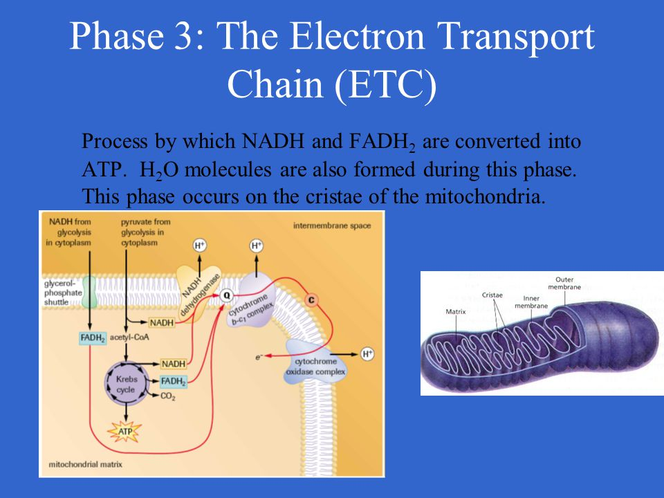 Phase 3: The Electron Transport Chain (ETC) Process by which NADH and FADH 2 are converted into ATP. H 2 O molecules are also formed during this phase