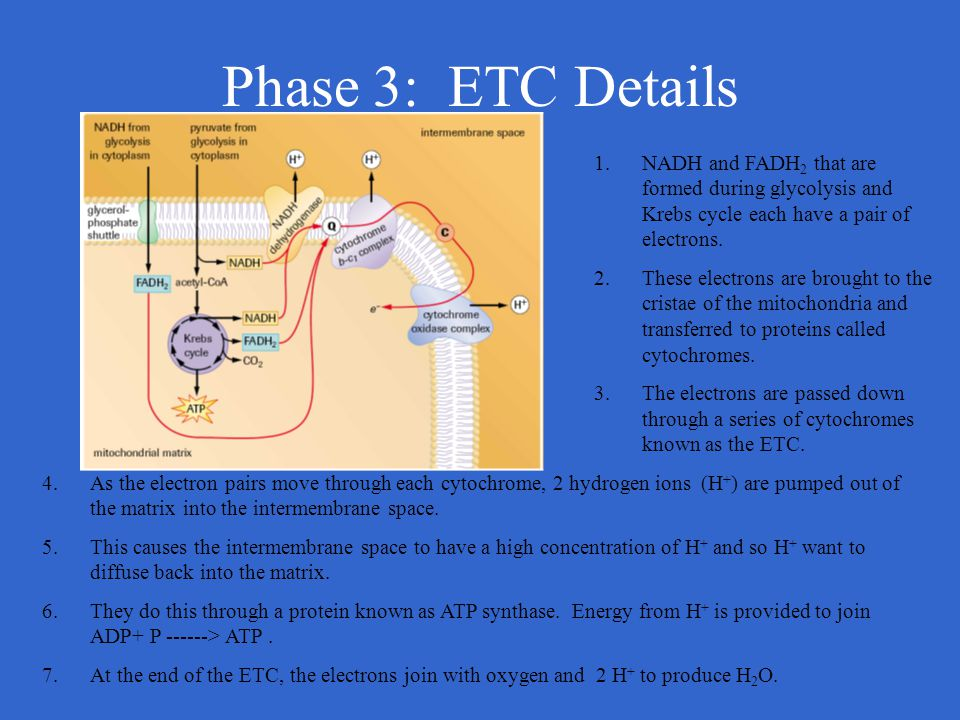 Phase 3: ETC Details 1.NADH and FADH 2 that are formed during glycolysis and Krebs cycle each have a pair of electrons. 2.These electrons are brought