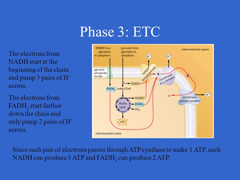 Phase 3: ETC The electrons from NADH start at the beginning of the chain and pump 3 pairs of H + across. The electrons from FADH 2 start farther down
