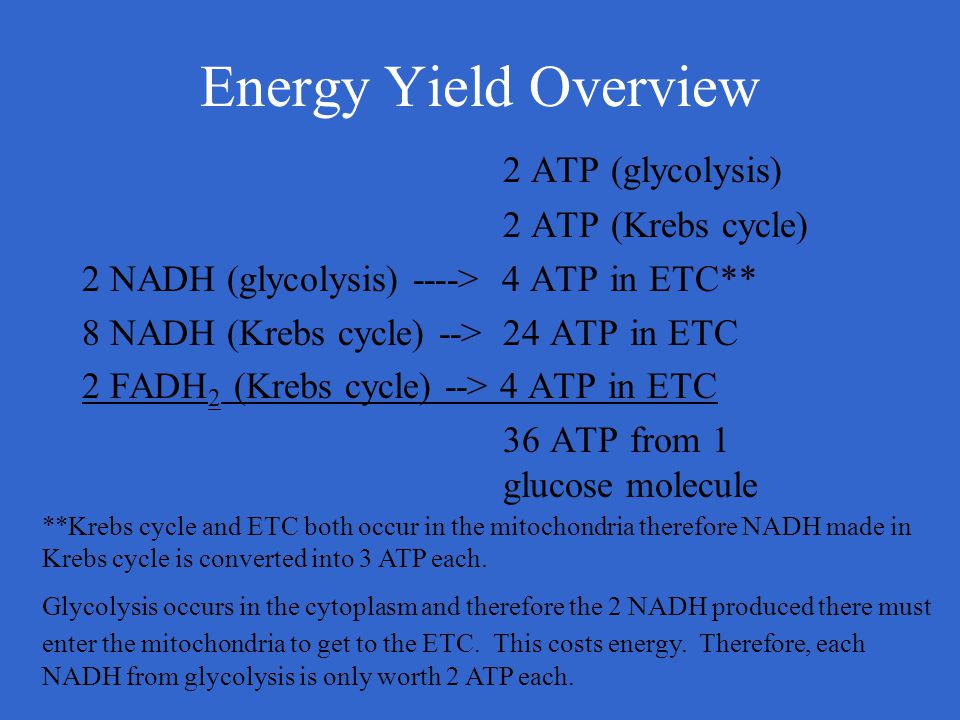 Energy Yield Overview 2 ATP (glycolysis) 2 ATP (Krebs cycle) 2 NADH (glycolysis) ----> 4 ATP in ETC** 8 NADH (Krebs cycle) --> 24 ATP in ETC 2 FADH 2