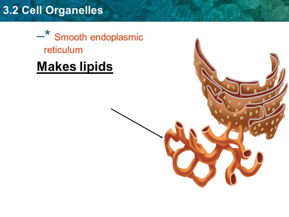 3.2 Cell Organelles – –* Smooth endoplasmic reticulum Makes lipids
