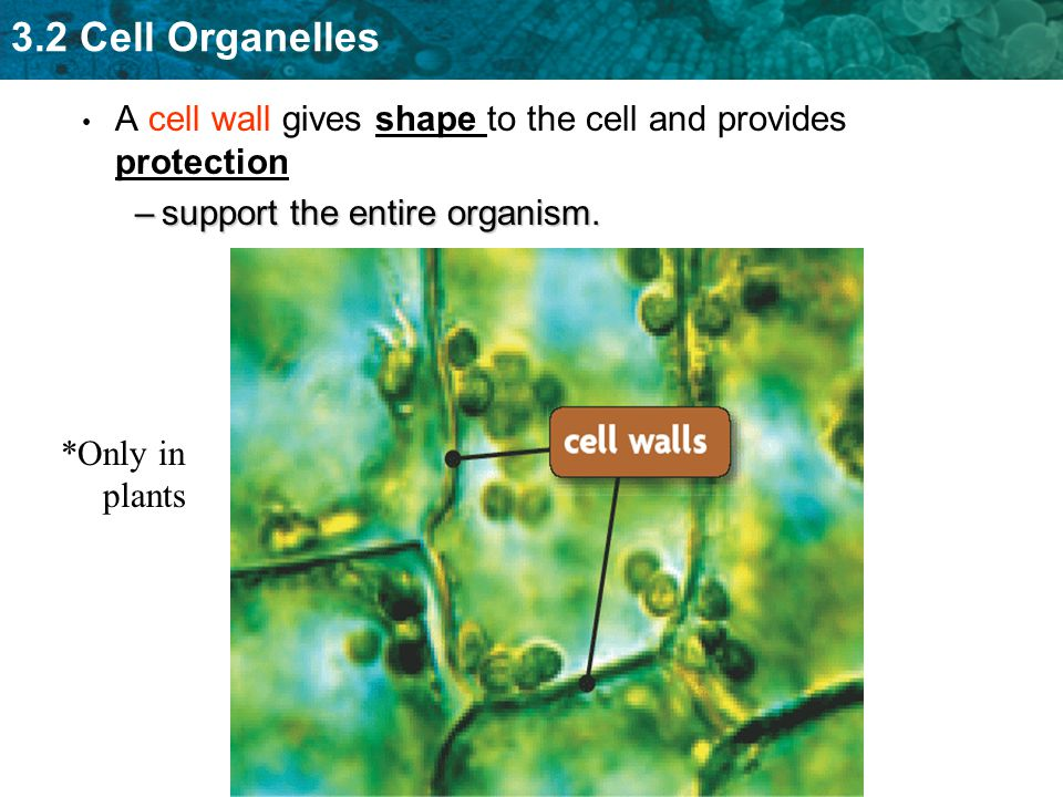 3.2 Cell Organelles A cell wall gives shape to the cell and provides protection –support the entire organism. *Only in plants