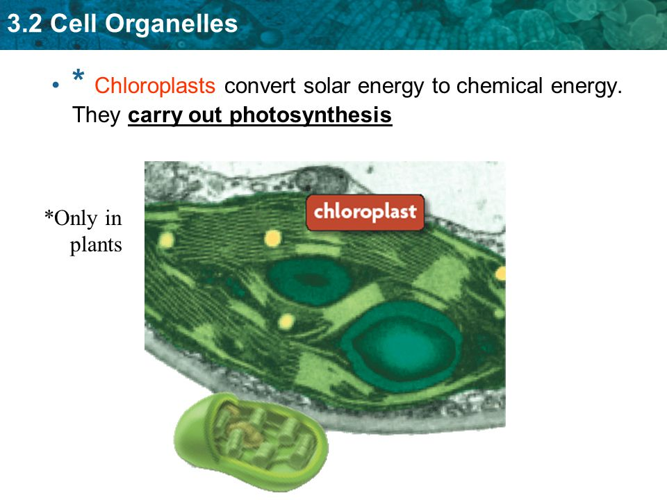 3.2 Cell Organelles * Chloroplasts convert solar energy to chemical energy. They carry out photosynthesis *Only in plants