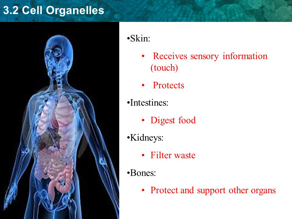 3.2 Cell Organelles Skin: Receives sensory information (touch) Protects Intestines: Digest food Kidneys: Filter waste Bones: Protect and support other