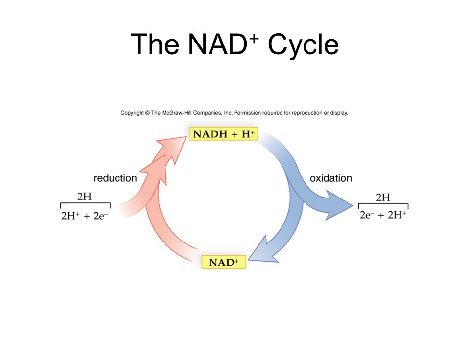 The NAD + Cycle