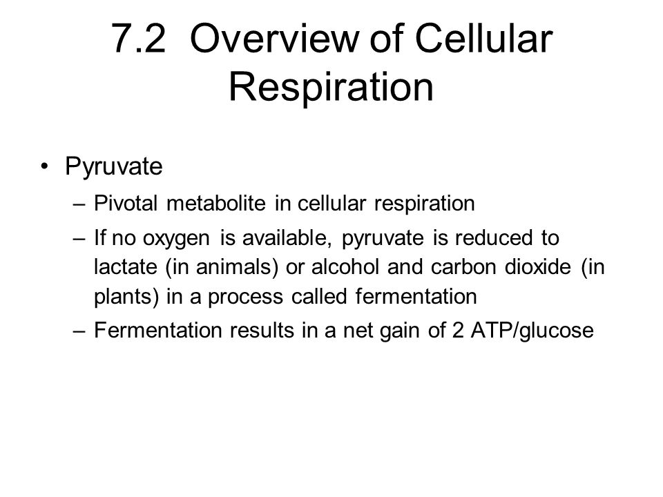 7.2 Overview of Cellular Respiration Pyruvate –Pivotal metabolite in cellular respiration –If no oxygen is available, pyruvate is reduced to lactate (in animals) or alcohol and carbon dioxide (in plants) in a process called fermentation –Fermentation results in a net gain of 2 ATP/glucose
