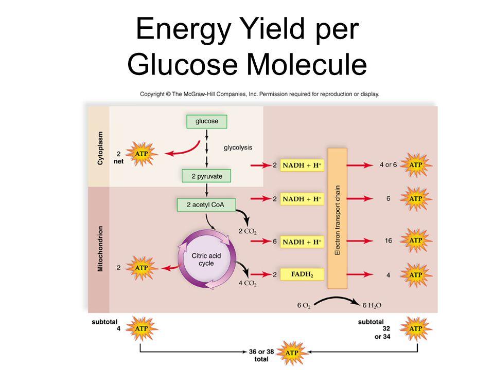 Energy Yield per Glucose Molecule