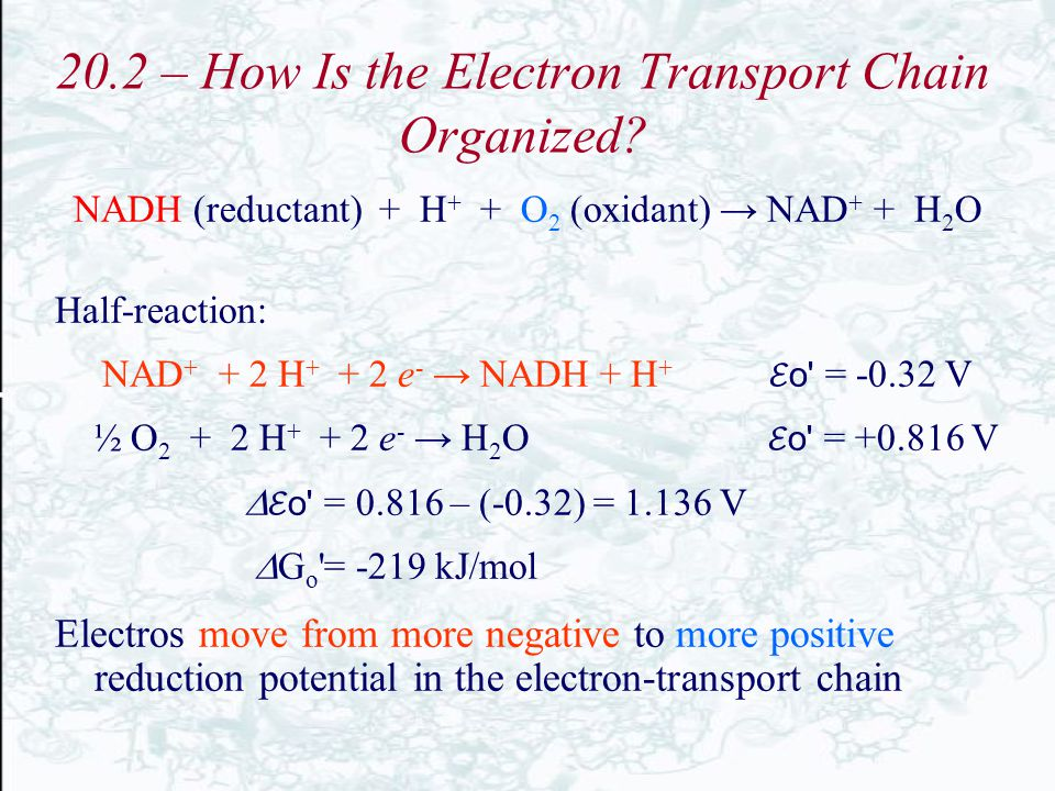 20.2 – How Is the Electron Transport Chain Organized? NADH (reductant) + H + + O 2 (oxidant) → NAD + + H 2 O Half-reaction: NAD + + 2 H + + 2 e - → NA