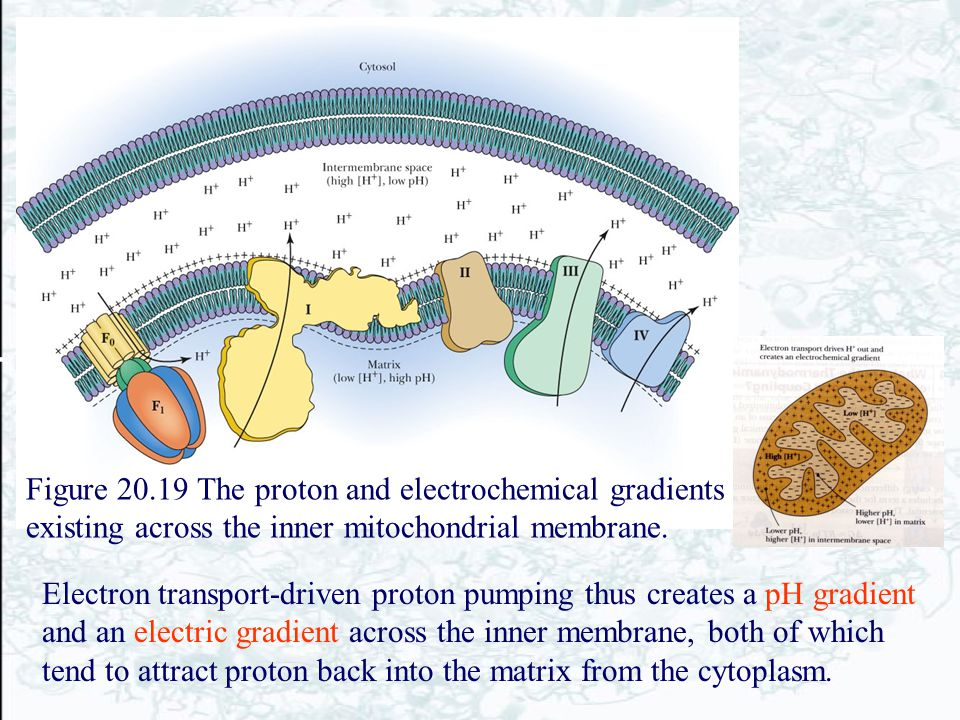 Figure 20.19 The proton and electrochemical gradients existing across the inner mitochondrial membrane. Electron transport-driven proton pumping thus