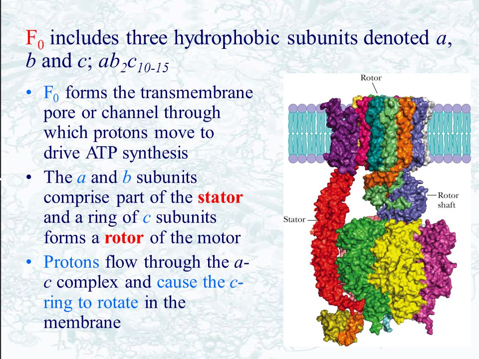 F 0 includes three hydrophobic subunits denoted a, b and c; ab 2 c 10-15 F 0 forms the transmembrane pore or channel through which protons move to dri