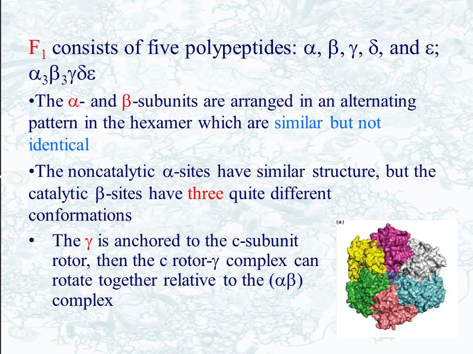 F 1 consists of five polypeptides:  and       The  - and  -subunits are arranged in an alternating pattern in the hexamer which