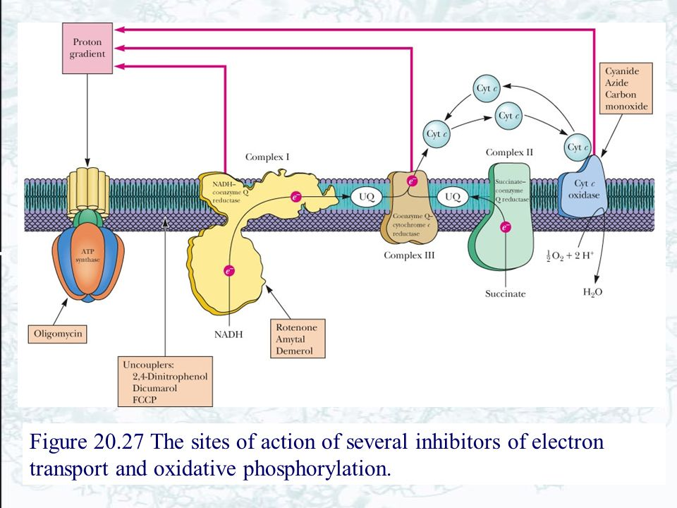 Figure 20.27 The sites of action of several inhibitors of electron transport and oxidative phosphorylation.