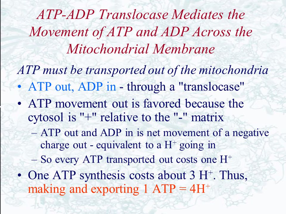 ATP-ADP Translocase Mediates the Movement of ATP and ADP Across the Mitochondrial Membrane ATP must be transported out of the mitochondria ATP out, AD