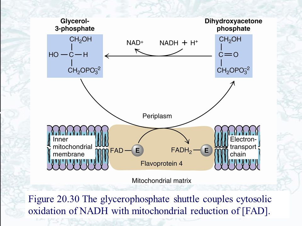Figure 20.30 The glycerophosphate shuttle couples cytosolic oxidation of NADH with mitochondrial reduction of [FAD].