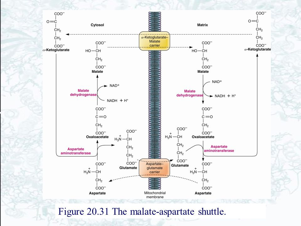 Figure 20.31 The malate-aspartate shuttle.