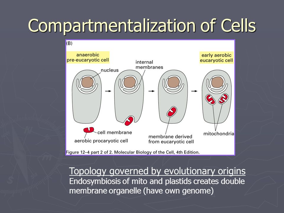 Compartmentalization of Cells Topology governed by evolutionary origins Endosymbiosis of mito and plastids creates double membrane organelle (have own genome)
