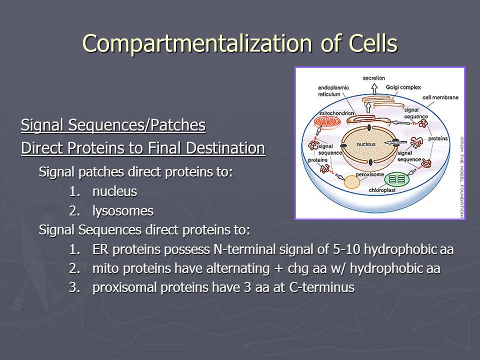 Signal Sequences/Patches Direct Proteins to Final Destination Signal patches direct proteins to: 1. nucleus 2. lysosomes Signal Sequences direct prote
