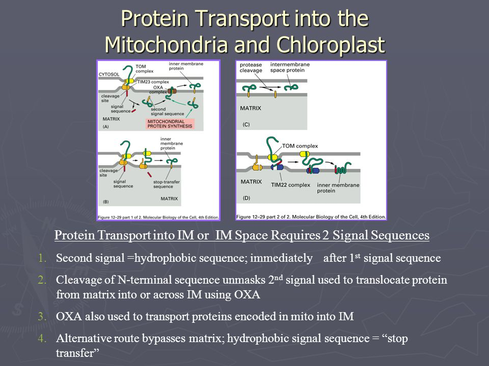 Protein Transport into the Mitochondria and Chloroplast Protein Transport into IM or IM Space Requires 2 Signal Sequences 1.Second signal =hydrophobic