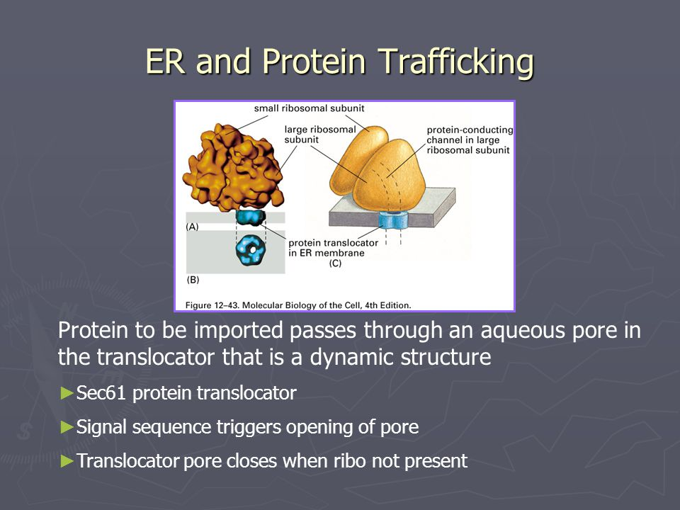 ER and Protein Trafficking Protein to be imported passes through an aqueous pore in the translocator that is a dynamic structure ► Sec61 protein translocator ► Signal sequence triggers opening of pore ► Translocator pore closes when ribo not present
