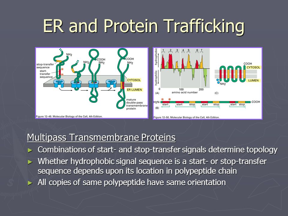 ER and Protein Trafficking Multipass Transmembrane Proteins ► Combinations of start- and stop-transfer signals determine topology ► Whether hydrophobi