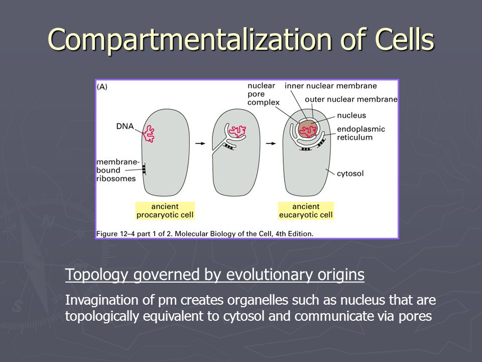 Compartmentalization of Cells Topology governed by evolutionary origins Invagination of pm creates organelles such as nucleus that are topologically e