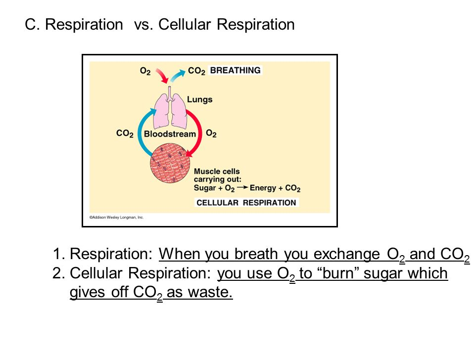 C. Respiration vs. Cellular Respiration 1.