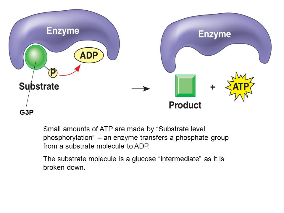 Small amounts of ATP are made by Substrate level phosphorylation – an enzyme transfers a phosphate group from a substrate molecule to ADP.