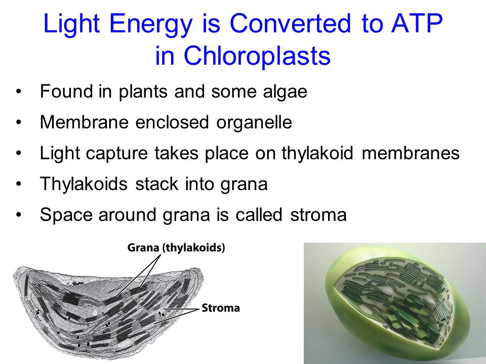 Light Energy is Converted to ATP in Chloroplasts Found in plants and some algae Membrane enclosed organelle Light capture takes place on thylakoid membranes Thylakoids stack into grana Space around grana is called stroma
