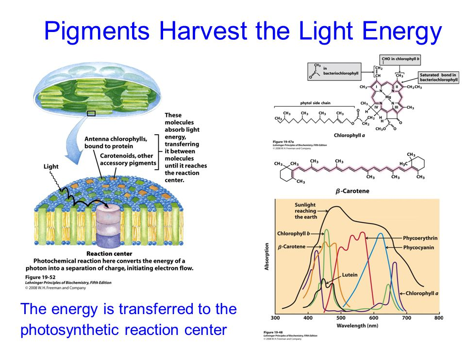 Photosynthetic Unit in Bacteria LH-II collects energy and funnels it to LH-1 LH-I initiates charge separation