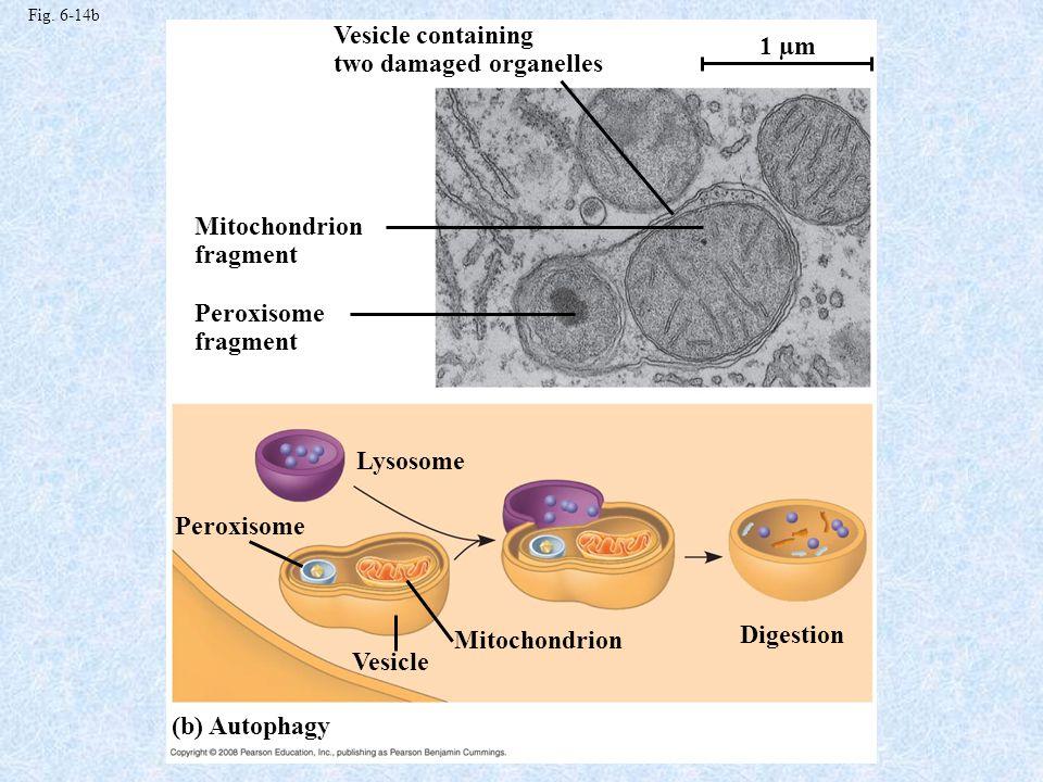 Evolution of Eukaryotes Symbiotic Theory.Prokaryotic Characteristics.
