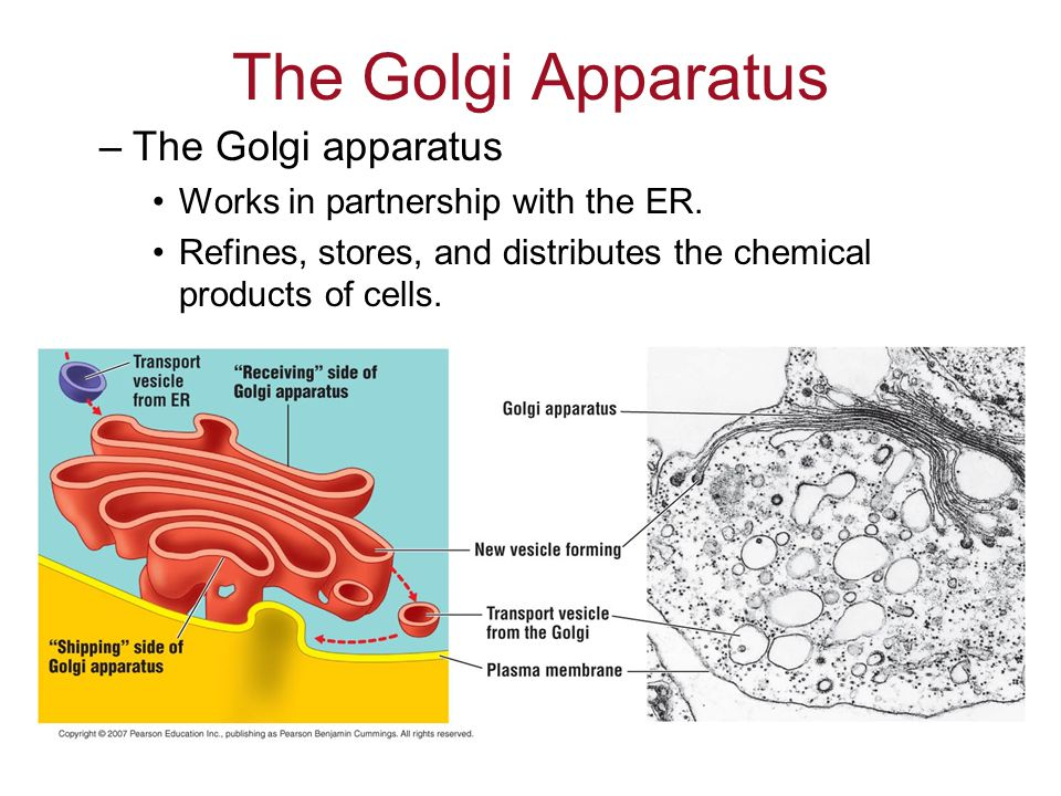 The Golgi Apparatus –The Golgi apparatus Works in partnership with the ER.