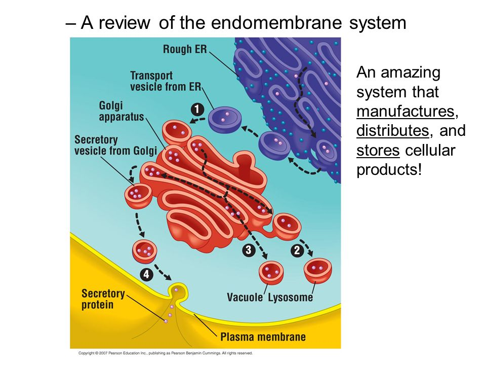 –A review of the endomembrane system An amazing system that manufactures, distributes, and stores cellular products!